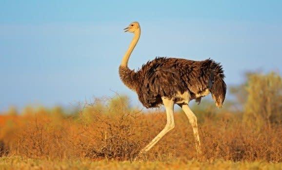 Female Ostrich Struthio camelus at Kalahari Desert