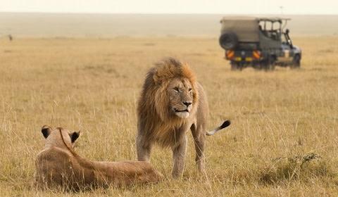 Löwe, König der Tiere