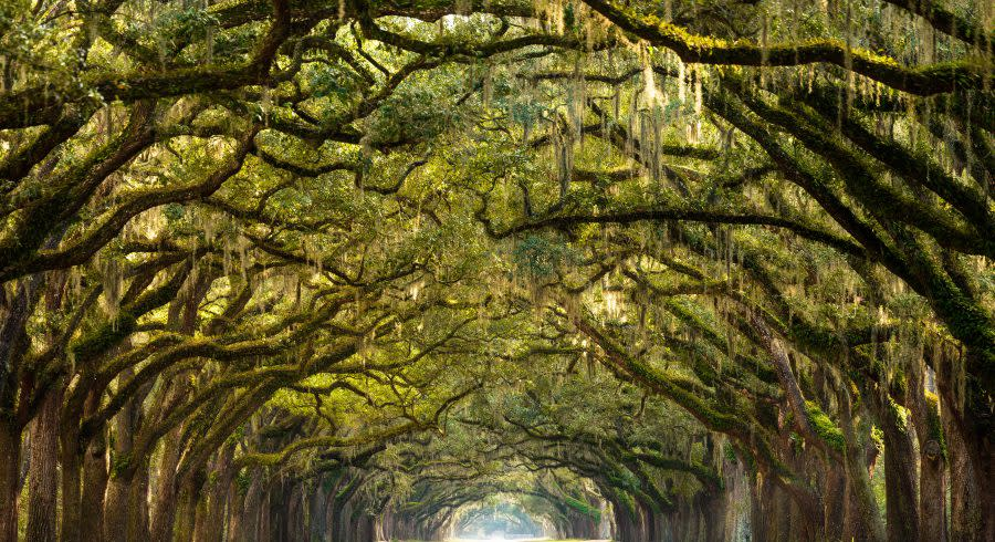 Ancient live oaks in Savannah, GA