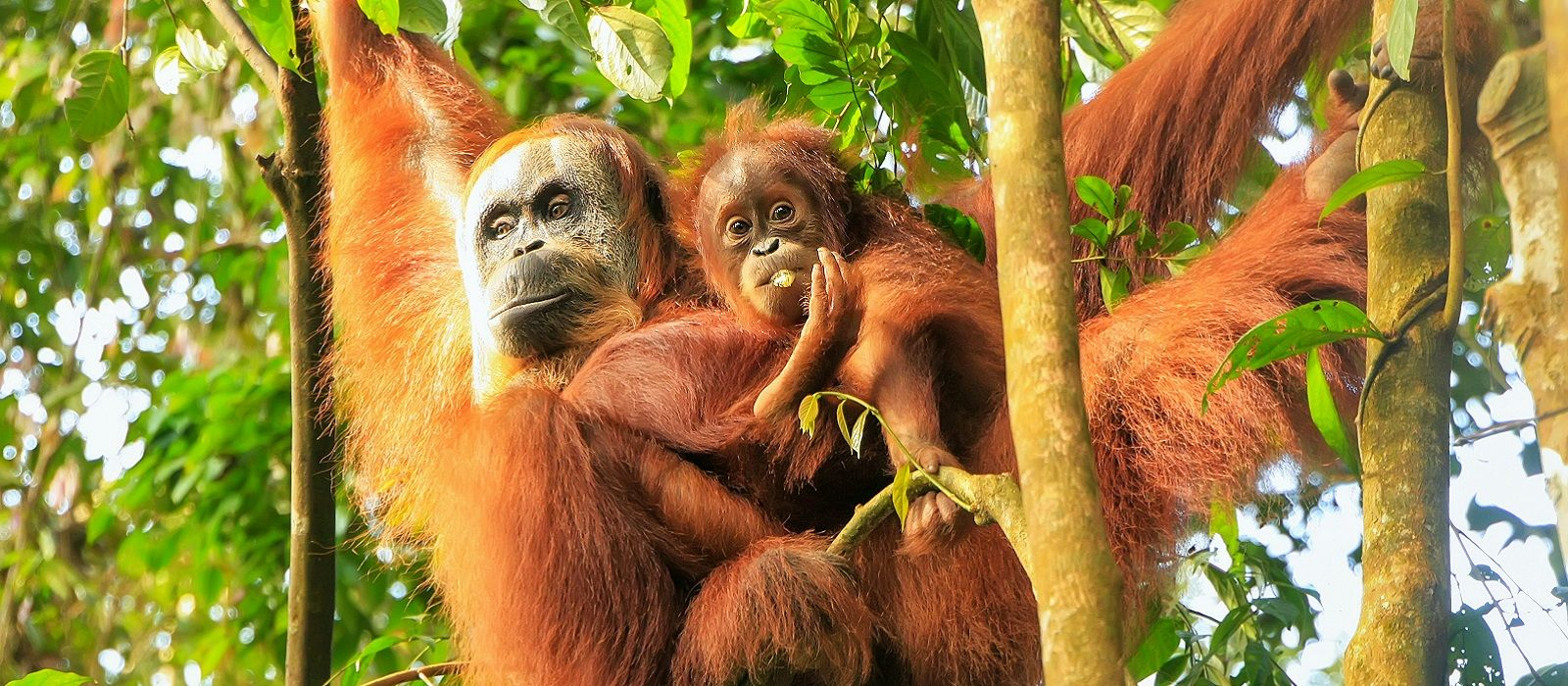 Orangutan di Tangkahan | Sumber: Enchanting Travels