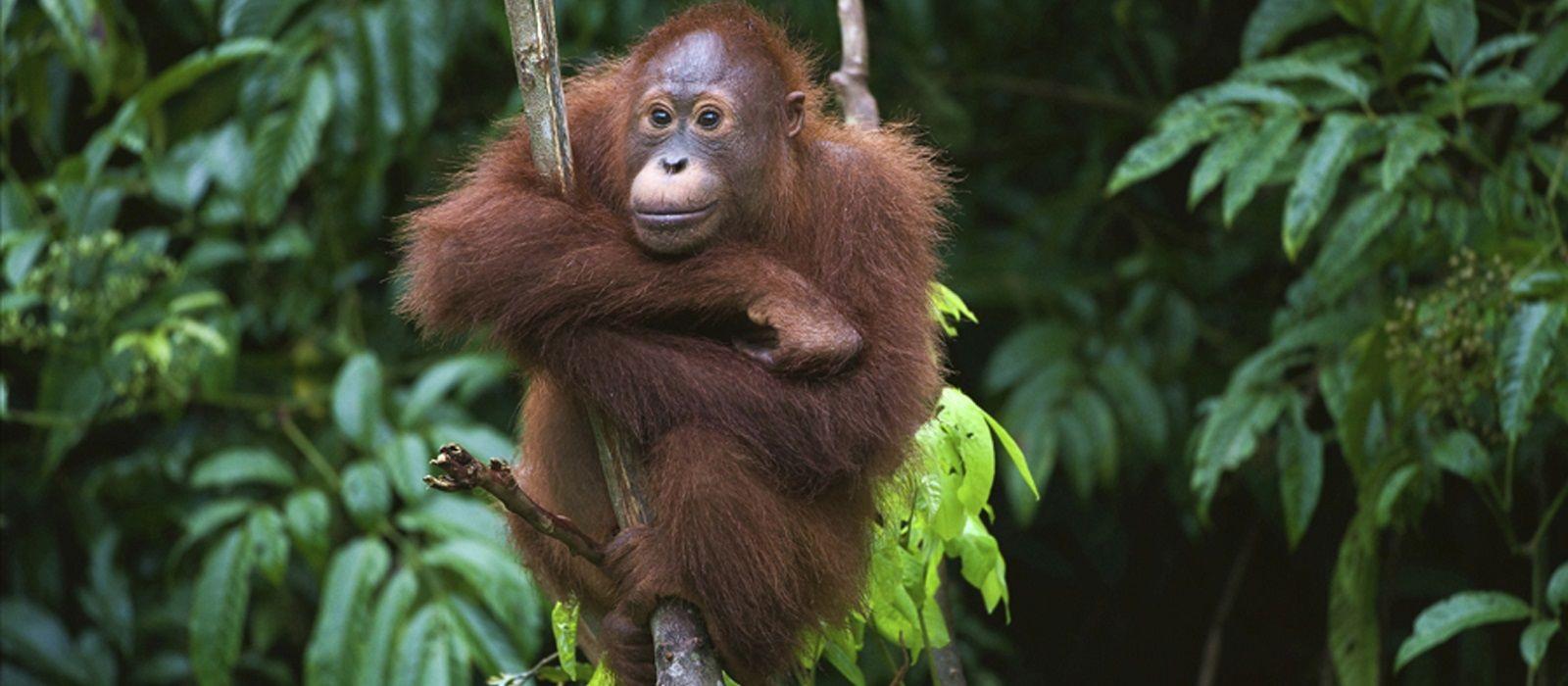 Indonesia's Orangutans and Temples Tour Trip 2