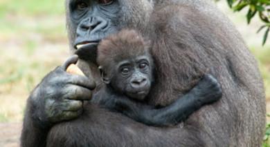 Empfohlene Individualreise, Rundreise: Kenia und Ruanda – Safari und Gorilla-Trekking