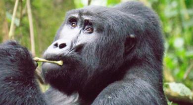 Empfohlene Individualreise, Rundreise: Ostafrika: Gorilla Trekking in Uganda & Safari in Kenia
