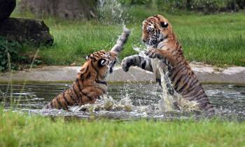 a tiger swimming in a body of water