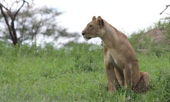 a lion standing on top of a grass covered field