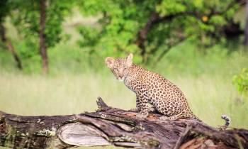 Leopard in Moremi