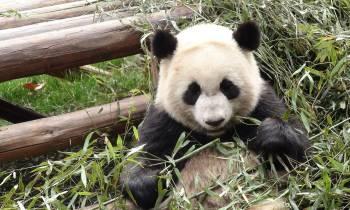 a panda bear sitting in the grass