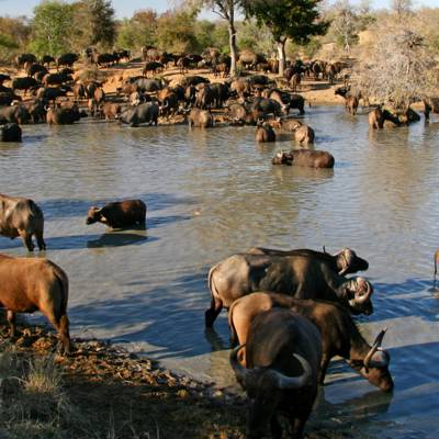 a herd of elephants walking along a river next to a body of water with Pinnawala Elephant Orphanage in the background
