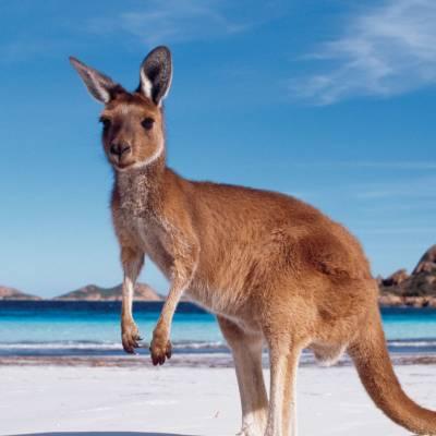Kangaroo, Coral Coast, Western Australia