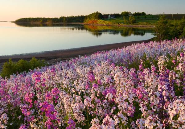 Lupins, Prince Edward Island