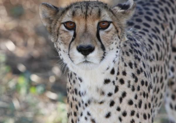 Close up shot of Cheetah