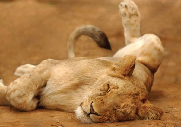 a lion lying on the ground