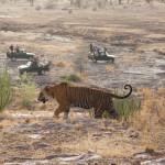 Safari Group watching Wild Tiger, Ranthambore National Park, India