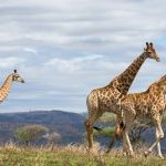 Giraffes at Easter Cape Game Parks with the Samarins