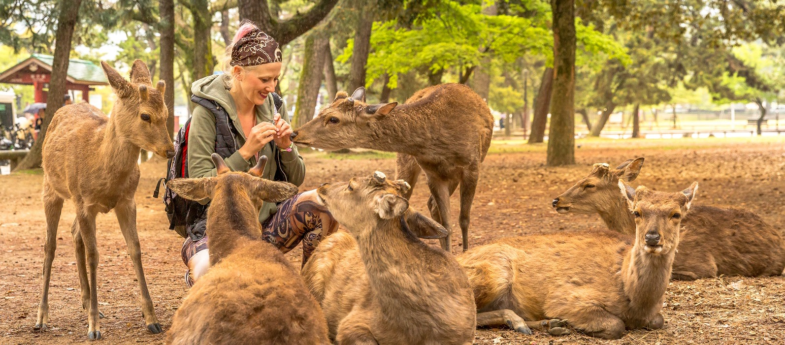 Smiling tourist woman surrounded by hungry deer in Nara town of Japan. Female traveler feeding wild animals on the grass park of Nara.Tourism in Japan concept.Unesco Heritage