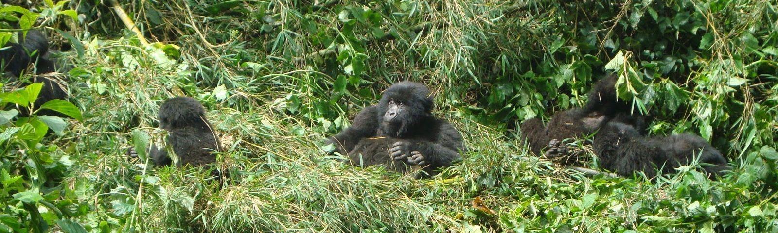 Gorillas in Ruanda - Highlights of Rwanda