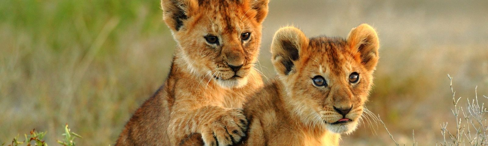 Two lion cubs play in Arusha National Park in Tanzania, East Africa