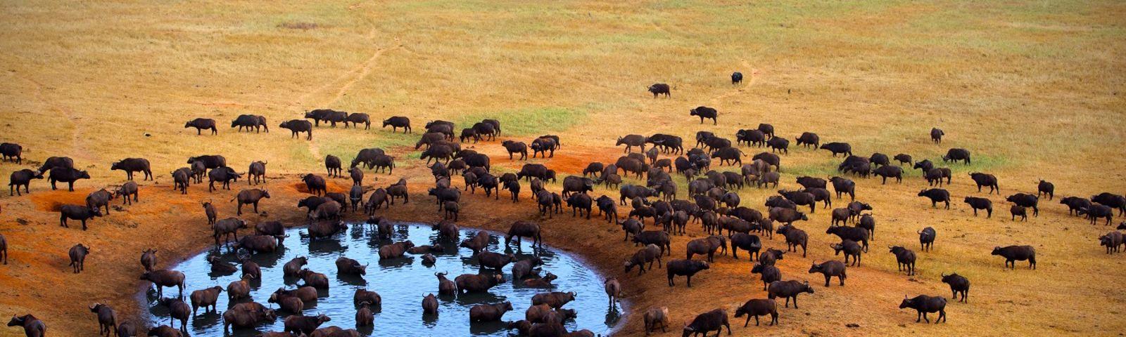 Büffelherde an einer Wasserstelle