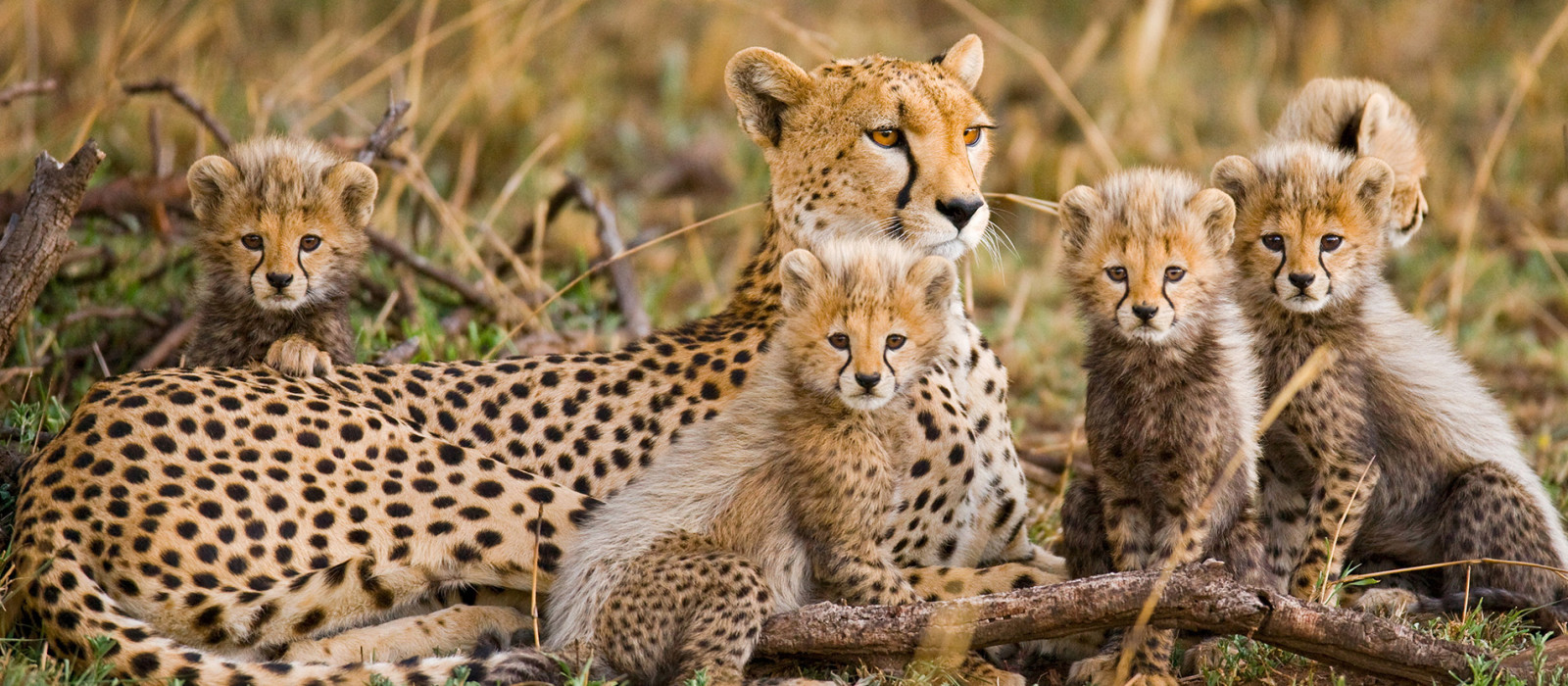 Cheetah family in the African Savannah