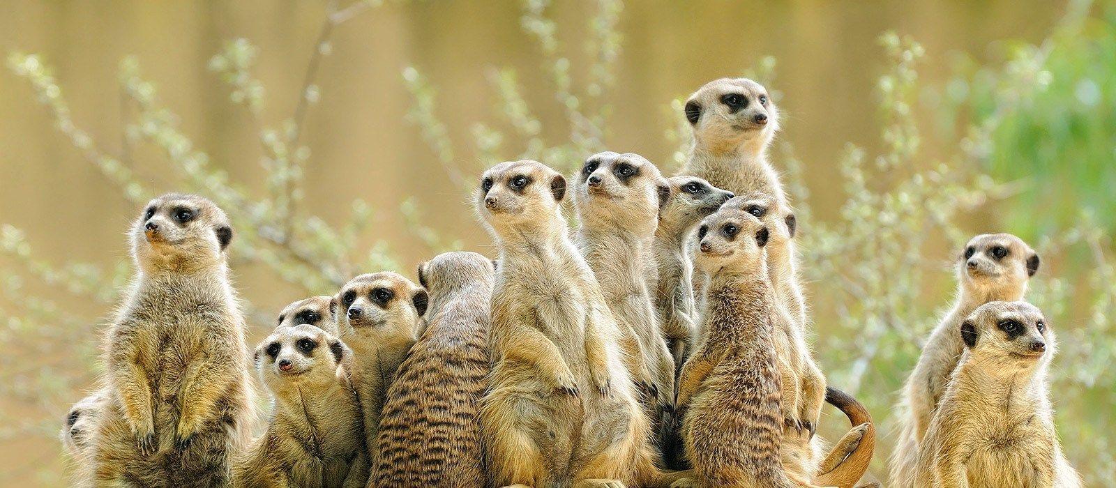 Kalahari Desert: Zutrauliche Erdmännchen