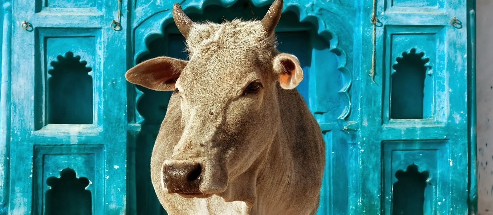 The cow is a sacred animal in India.