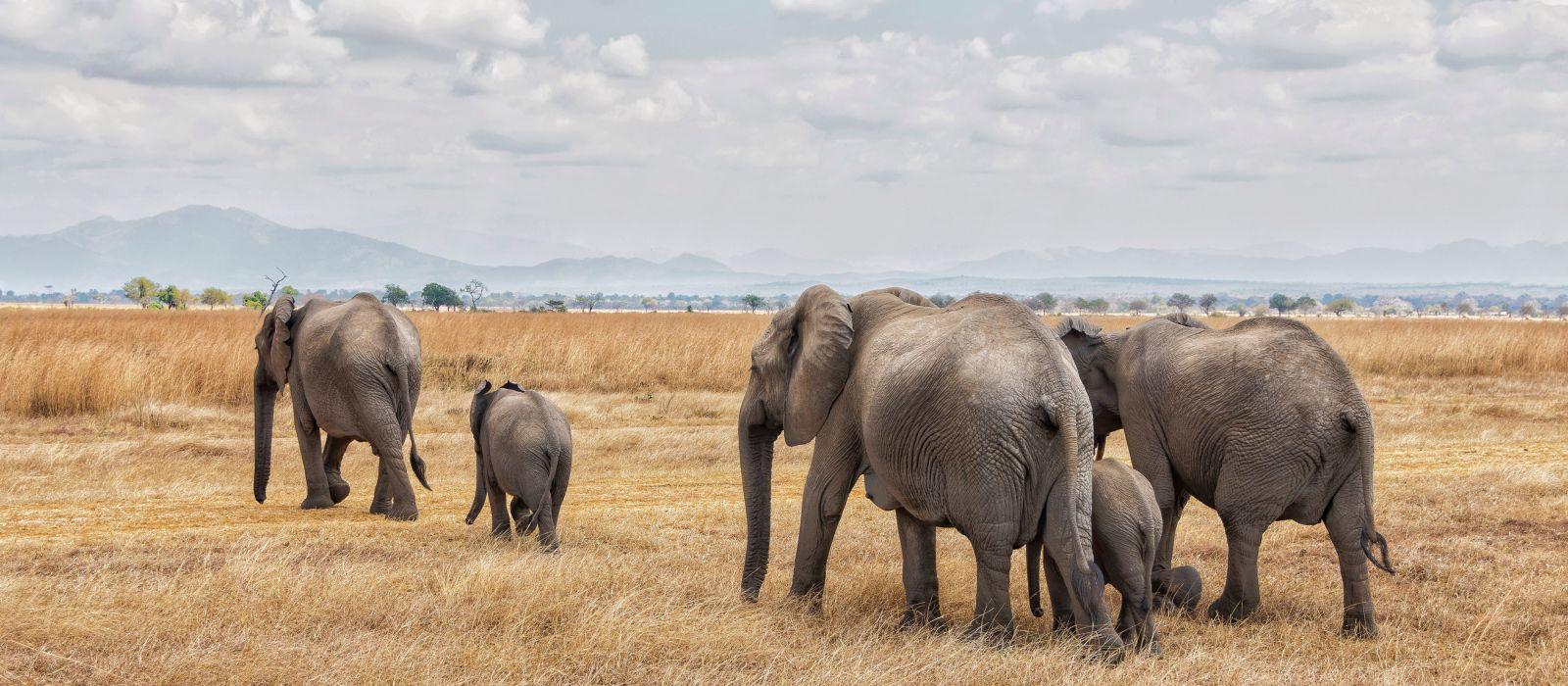 Elefanten bei einer Reihenwanderung im Mikumi-Nationalpark, Tansania, Afrika