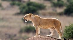 Lion cub at Nairobi National Park