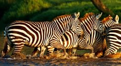 Zebras in the Lake Nakuru National Park, Kenya, Africa