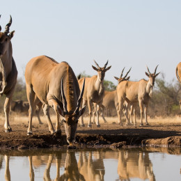 Enchanting Travels Botswana Tours Tuli Game Reserve A low level, horizontal, colour photo of a herd of thirsty eland and their reflections in the water.