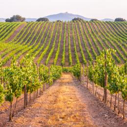 Weinreben im Alentejo in Portugal