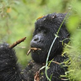 Enchanting Travels African safari parks to see - Mountain gorilla female - things to do in rwanda