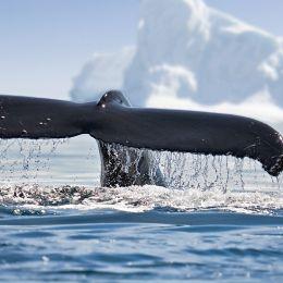 Walflosse im Wasser vor Eisberg in Antarktis