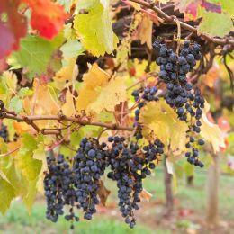 Wine grapes growing on limestone coast, Coonawarra winery, Australia