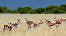 Auf Botswana safari in der Central Kalahari