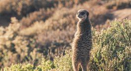 Erdmännchen in Little Karoo, Südafrika