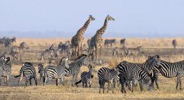Zebras und Giraffen im Katavi Nationalpark in Tansania