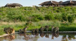 Lions drinking at water whole Tau Pan Camp in Central Kalahari, Botswana