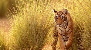 Tiger in Pench, Indien