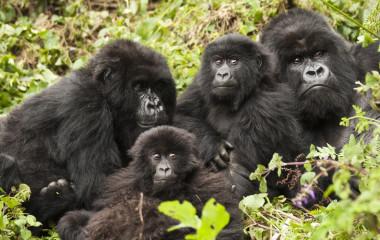 Treffen Sie die Berggorillas beim Gorilla Trekking Ruanda