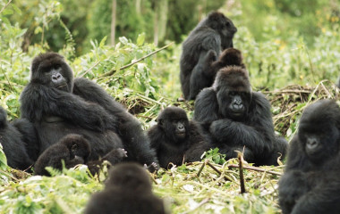 Gorilla trekking at Mountain Gorilla View, Rwanda