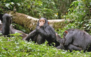 Uganda Safari Highlight: Schimpansen Trekking