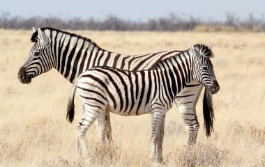 Zebra-Fohlen mit Mutter im afrikanischen Busch von Namibia