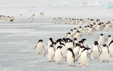 Enchanting Travels Antarctica Tours Annual migration of Adélie penguins