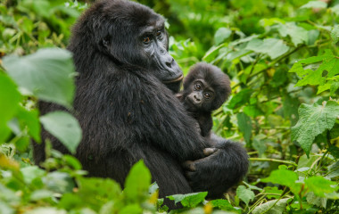 female mountain gorilla with a baby. Uganda. Bwindi Impenetrable Forest National Park
