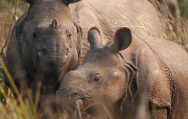 Enchanting Travels Nepal Tours Chitwan National Park Mother and baby Rhinoceros grazing in a forest clearing in Nepal's Chitwan National Park