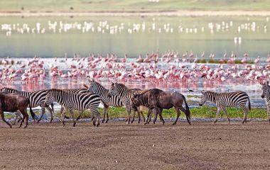 Gnus, Zebras und Flamingos am Manyara See in Tansania, Afrika
