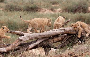 Enchanting Travels - South Africa Tours - Kruger South - Mala Mala Main Camp - Cubs playing