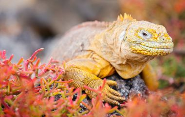 Land iguana in Galapagos, South America