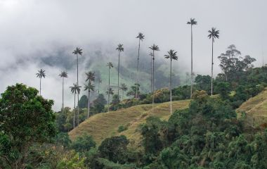 wax palm trees in Cocora Valley, Salento, Colombia, South America