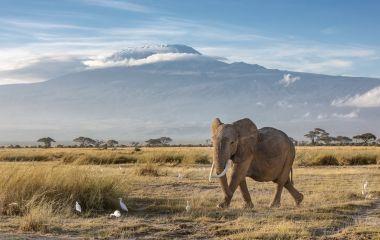 African elephant walking in the grassland at the foot of Mount Kilimanjaro, Kenya, Africa
